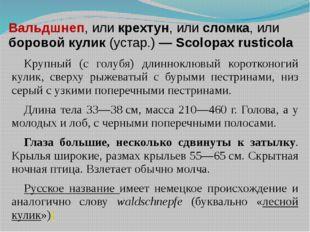 Вальдшнеп, или крехтун, или сломка, или боровой кулик (устар.) — Scolopax rus