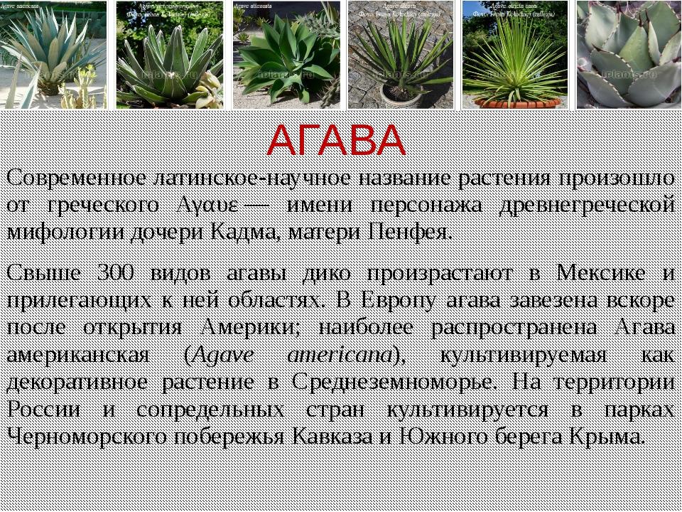 АГАВА Современное латинское-научное название растения произошло от греческого...