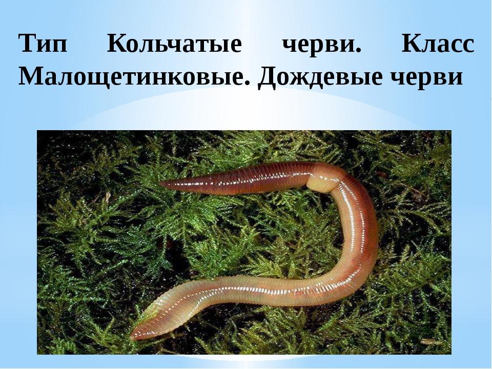 Тип Кольчатые черви. Класс Малощетинковые. Дождевые черви