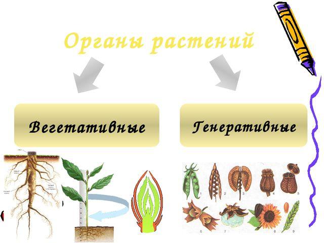 Органы растений Вегетативные Генеративные