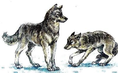 как живут волки