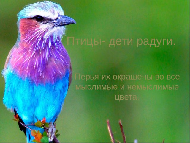 Птицы- дети радуги. Перья их окрашены во все мыслимые и немыслимые цвета.