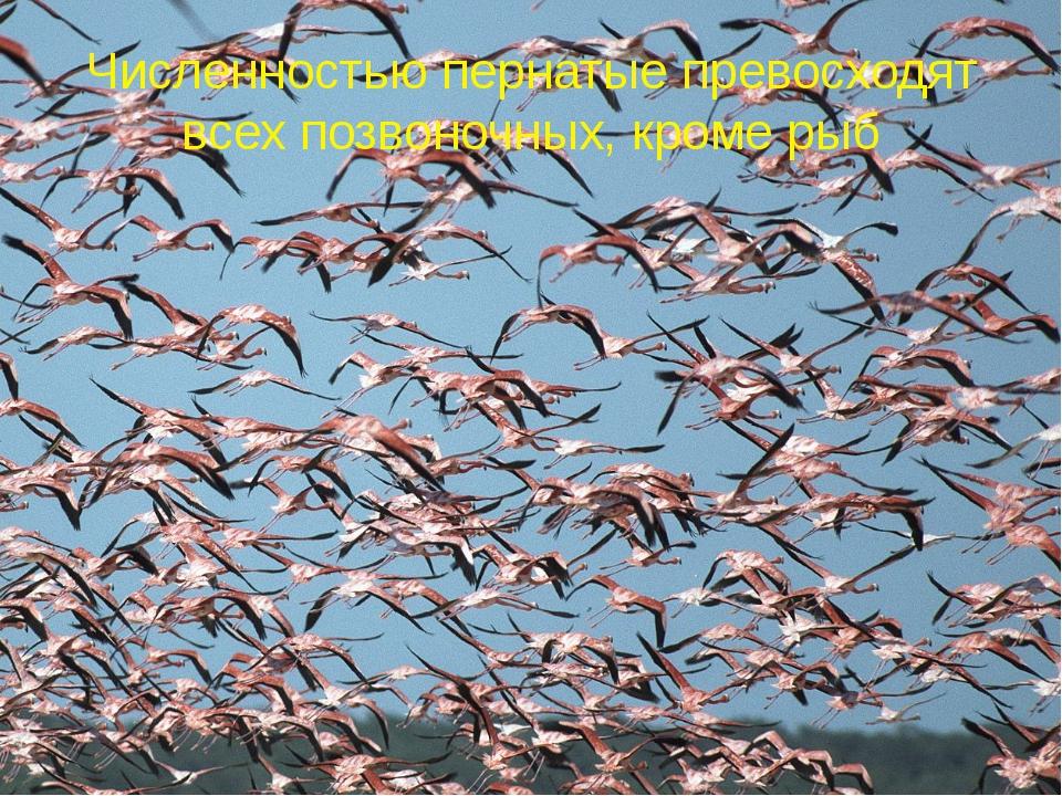 Численностью пернатые превосходят всех позвоночных, кроме рыб