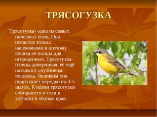 ТРЯСОГУЗКА Трясогузка- одна из самых полезных птиц. Она питается только насек