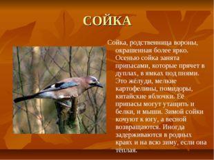 СОЙКА Сойка, родственница вороны, окрашенная более ярко. Осенью сойка занята