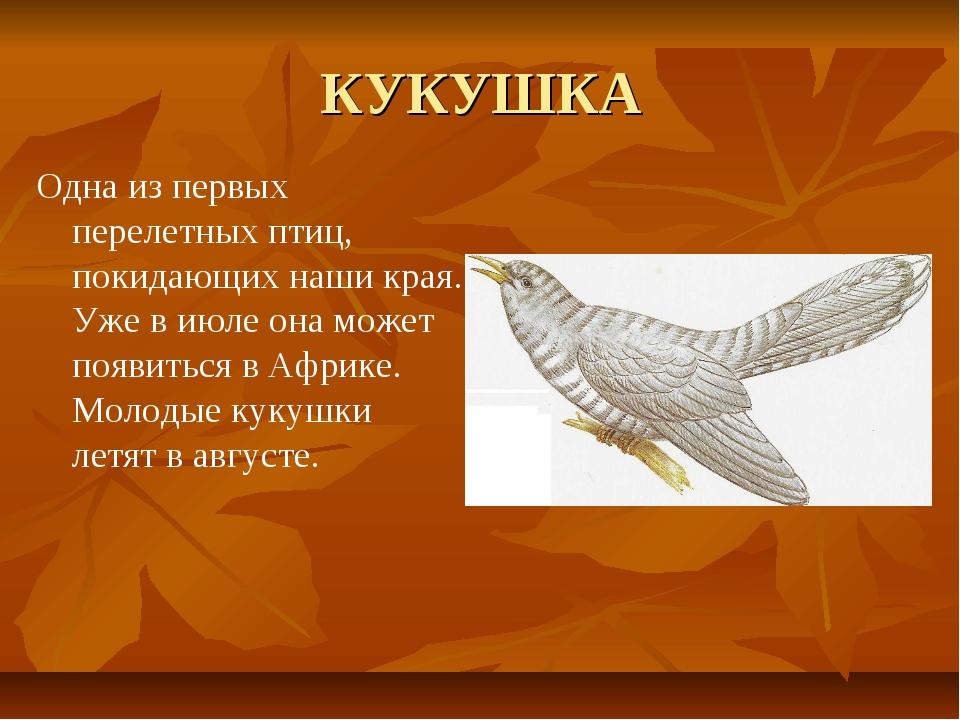 КУКУШКА Одна из первых перелетных птиц, покидающих наши края. Уже в июле она...