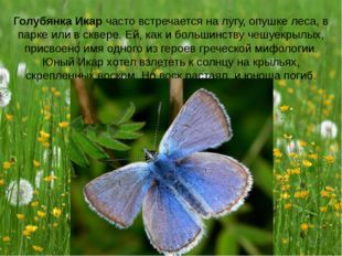 Голубянка Икар часто встречается на лугу, опушке леса, в парке или в сквере.