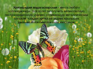 Хризиридия мадагаскарская - мечта любого коллекционера. Все хотят заполучить