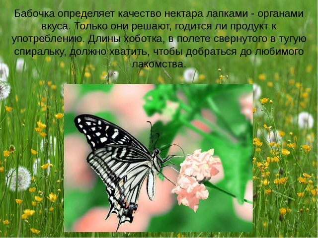 Бабочка определяет качество нектара лапками - органами вкуса. Только они реша...