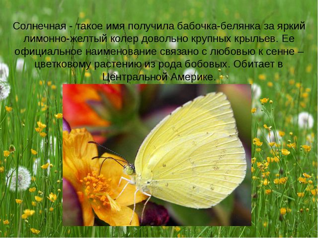 Солнечная - такое имя получила бабочка-белянка за яркий лимонно-желтый колер...