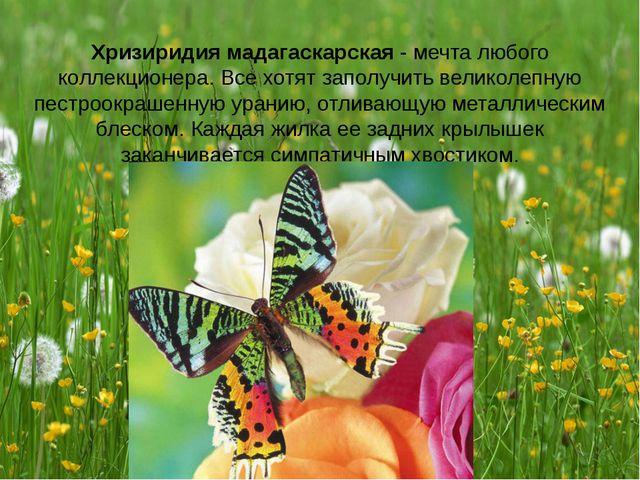 Хризиридия мадагаскарская - мечта любого коллекционера. Все хотят заполучить...
