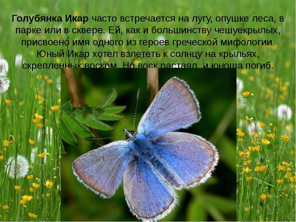 Голубянка Икар часто встречается на лугу, опушке леса, в парке или в сквере....