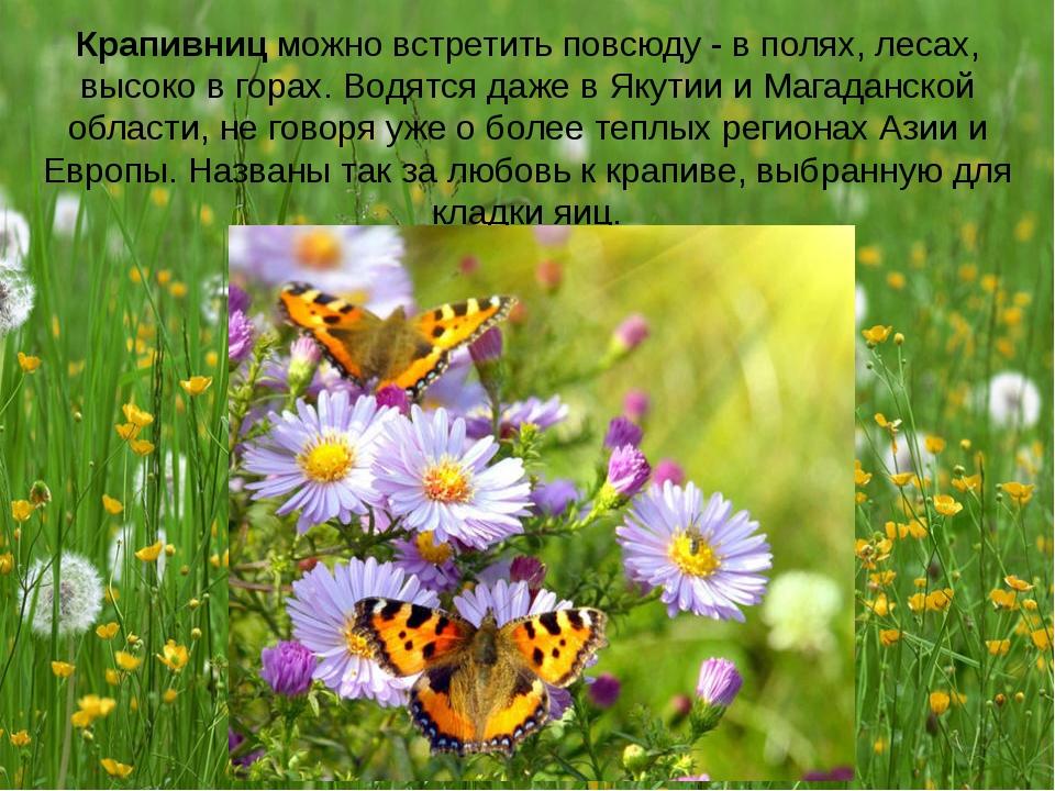 Крапивниц можно встретить повсюду - в полях, лесах, высоко в горах. Водятся д...