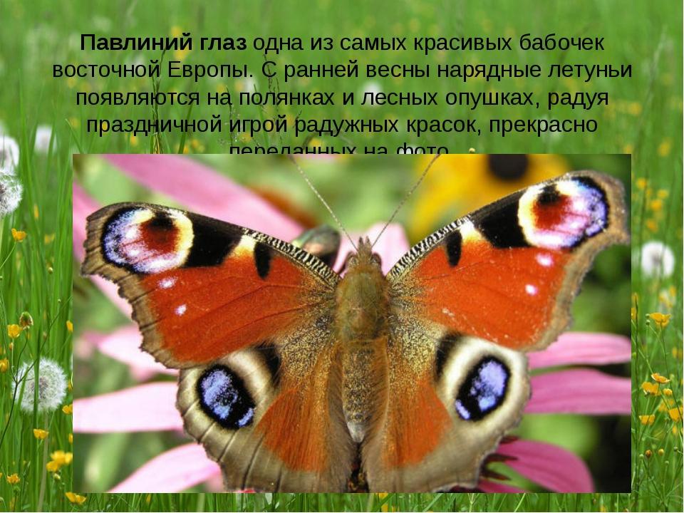 Павлиний глаз одна из самых красивых бабочек восточной Европы. С ранней весны...