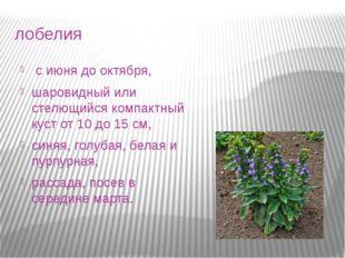 лобелия с июня до октября, шаровидный или стелющийся компактный куст от 10 д