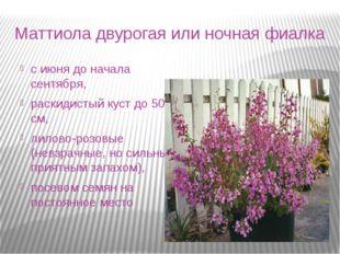 Маттиола двурогая или ночная фиалка с июня до начала сентября, раскидистый ку