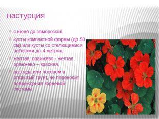настурция с июня до заморозков, кусты компактной формы (до 50 см) или кусты с