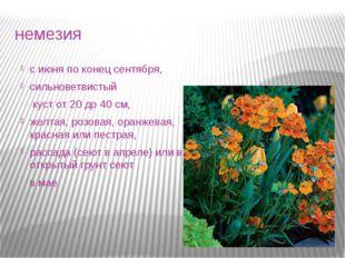 немезия с июня по конец сентября, сильноветвистый куст от 20 до 40 см, желтая