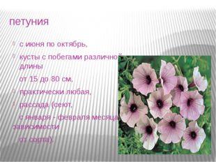 петуния с июня по октябрь, кусты с побегами различной длины от 15 до 80 см, п
