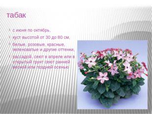 табак с июня по октябрь, куст высотой от 30 до 80 см, белые, розовые, красные