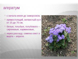 агератум с начала июня до заморозков, прямостоящий, ветвистый куст от 15 до 7