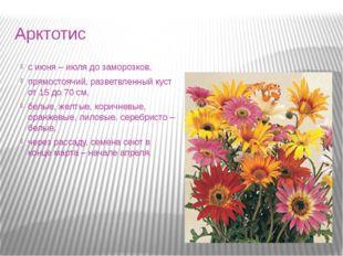 Арктотис с июня – июля до заморозков, прямостоячий, разветвленный куст от 15