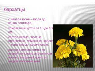 бархатцы с начала июня – июля до конца сентября, компактные кусты от 15 до 10