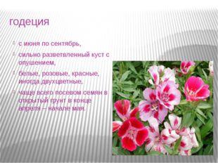 годеция с июня по сентябрь, сильно разветвленный куст с опушением, белые, роз