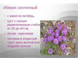 Иберис зонтичный с июня по октябрь, куст с сильно разветвленным стеблем от 30