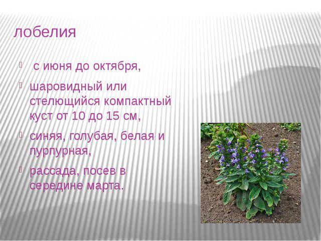 лобелия с июня до октября, шаровидный или стелющийся компактный куст от 10 д...