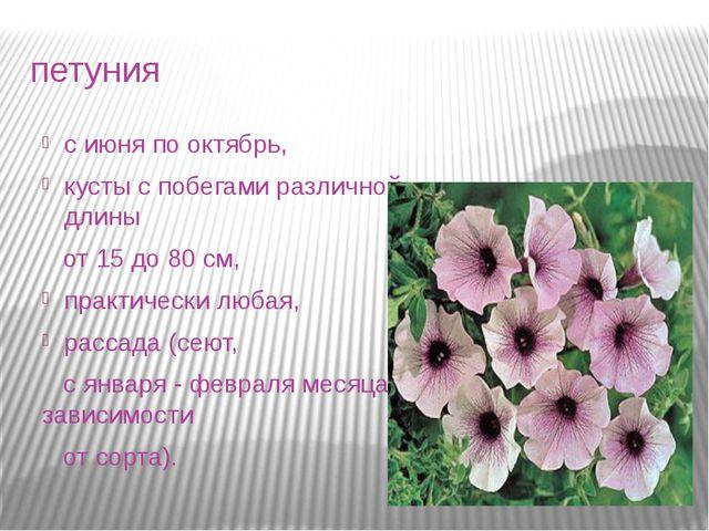 петуния с июня по октябрь, кусты с побегами различной длины от 15 до 80 см, п...