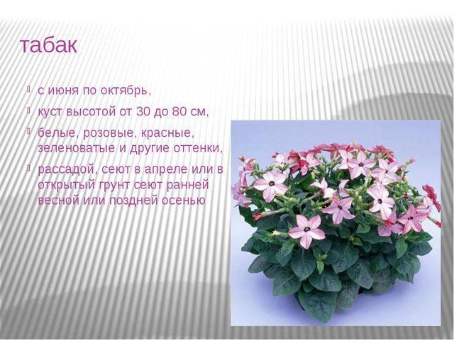 табак с июня по октябрь, куст высотой от 30 до 80 см, белые, розовые, красные...