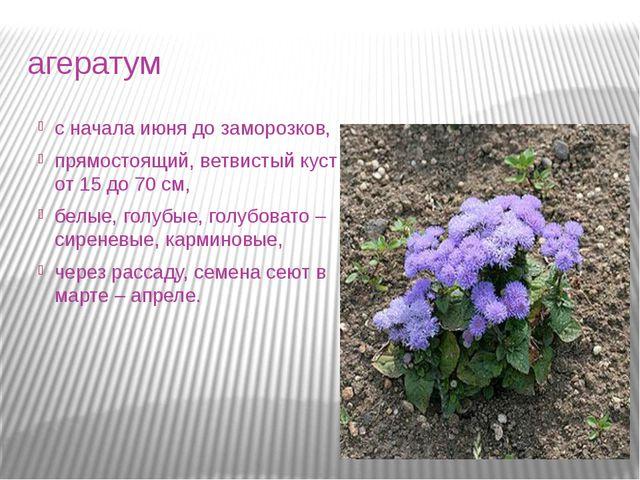 агератум с начала июня до заморозков, прямостоящий, ветвистый куст от 15 до 7...