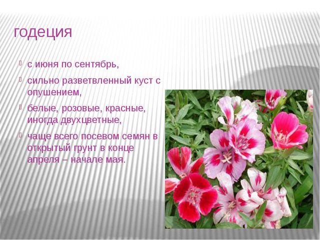 годеция с июня по сентябрь, сильно разветвленный куст с опушением, белые, роз...