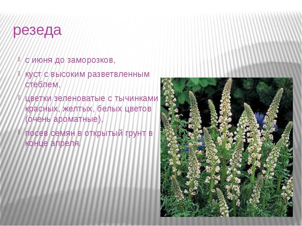 резеда с июня до заморозков, куст с высоким разветвленным стеблем, цветки зел...