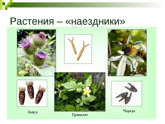 Растения – «наездники»