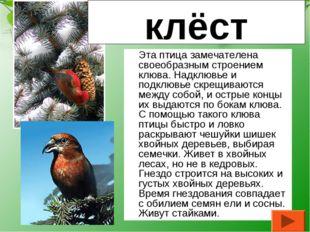 Эта птица замечателена своеобразным строением клюва. Надклювье и подклювье с
