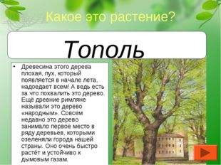Древесина этого дерева плохая, пух, который появляется в начале лета, надоеда