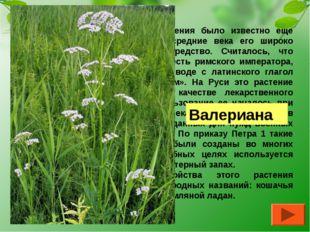 О целебных свойствах этого растения было известно еще древним грекам и римлян