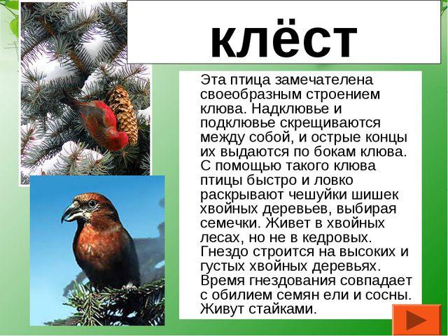 Эта птица замечателена своеобразным строением клюва. Надклювье и подклювье с...