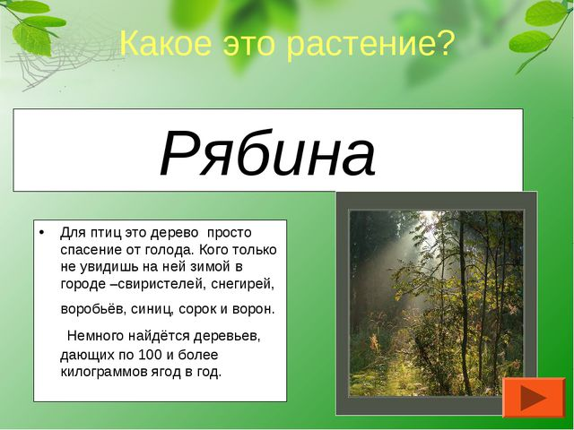 Рябина Для птиц это дерево просто спасение от голода. Кого только не увидишь...