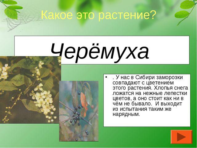 Черёмуха . У нас в Сибири заморозки совпадают с цветением этого растения. Хло...