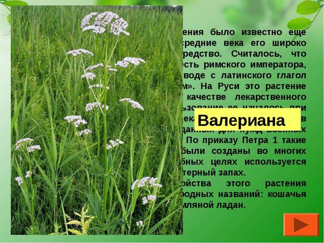 О целебных свойствах этого растения было известно еще древним грекам и римлян...