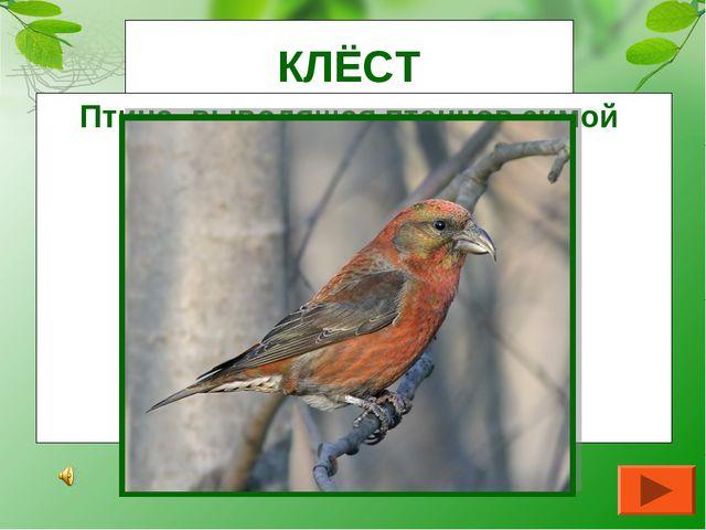 КЛЁСТ Птица, выводящая птенцов зимой