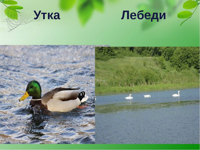 Утка Лебеди