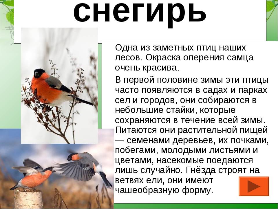 снегирь Одна из заметных птиц наших лесов. Окраска оперения самца очень краси...