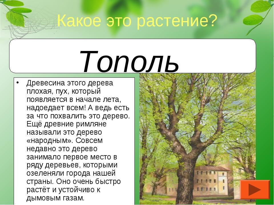 Древесина этого дерева плохая, пух, который появляется в начале лета, надоеда...