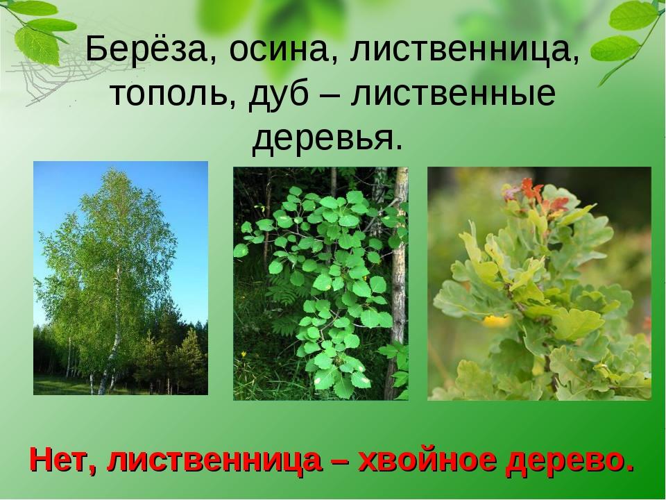 Берёза, осина, лиственница, тополь, дуб – лиственные деревья. Нет, лиственниц...