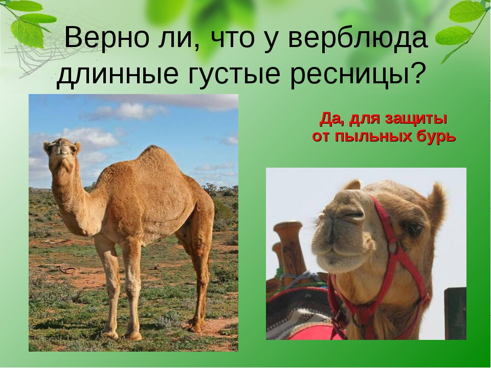 Верно ли, что у верблюда длинные густые ресницы? Да, для защиты от пыльных б...