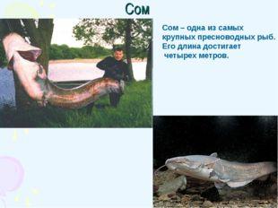 Сом Сом – одна из самых крупных пресноводных рыб. Его длина достигает четырех
